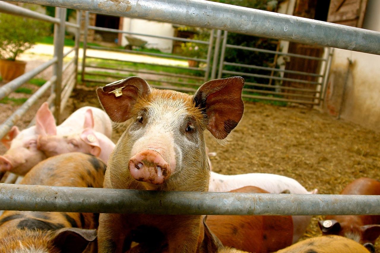 Ціни на живець свиней зросли на 3,7%