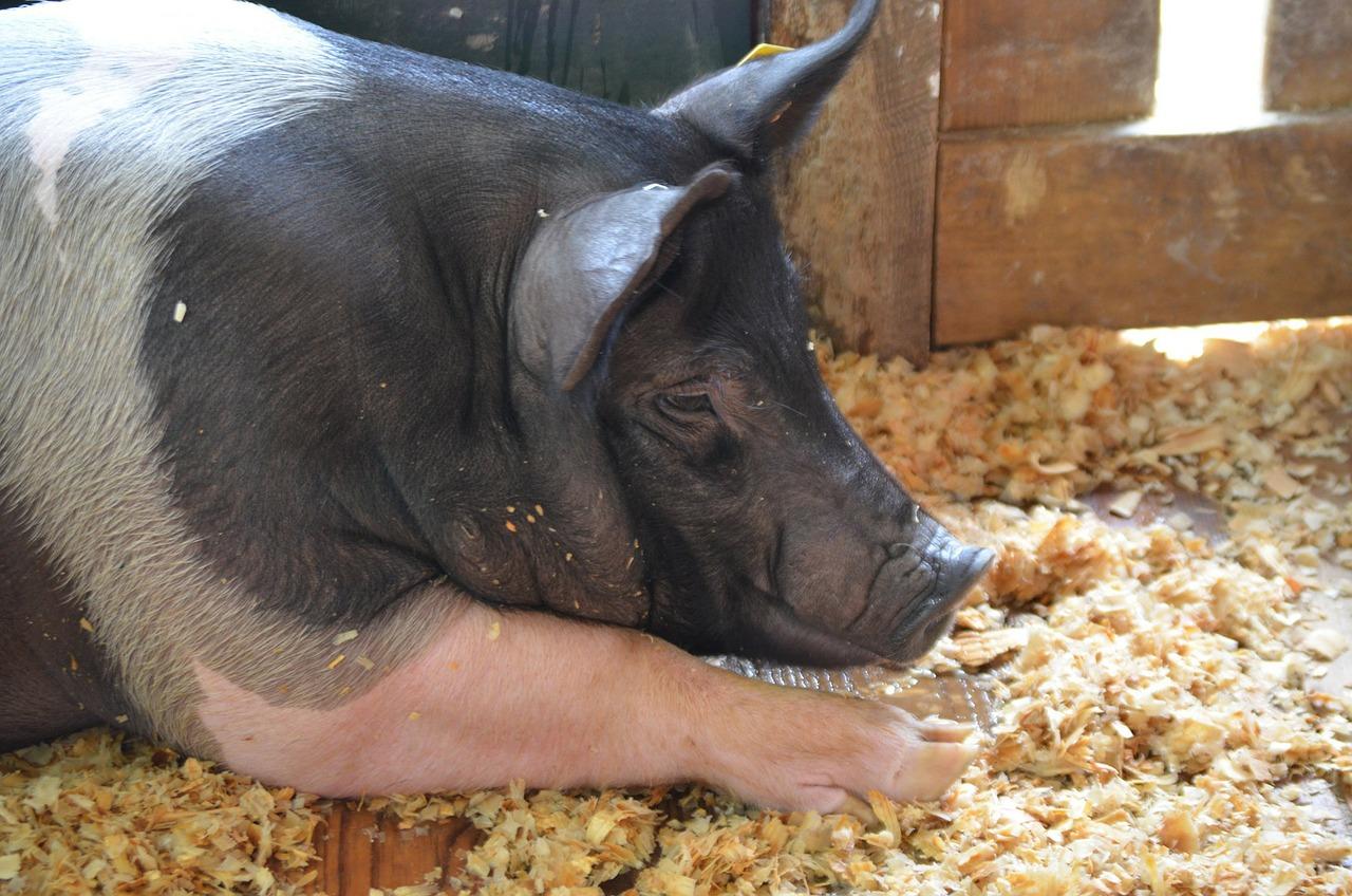 Занепаду української галузі свинарства не буде — АСУ
