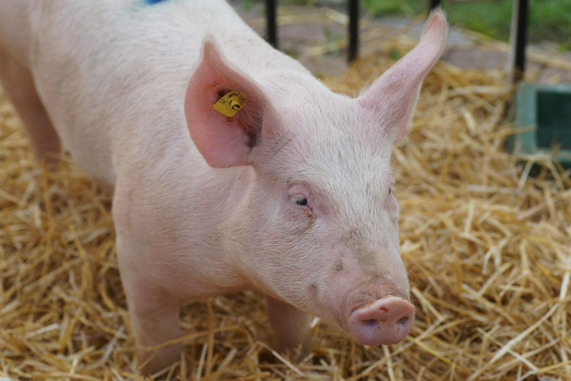 Для господарств населення прогнозують антирекорд поголів'я свиней