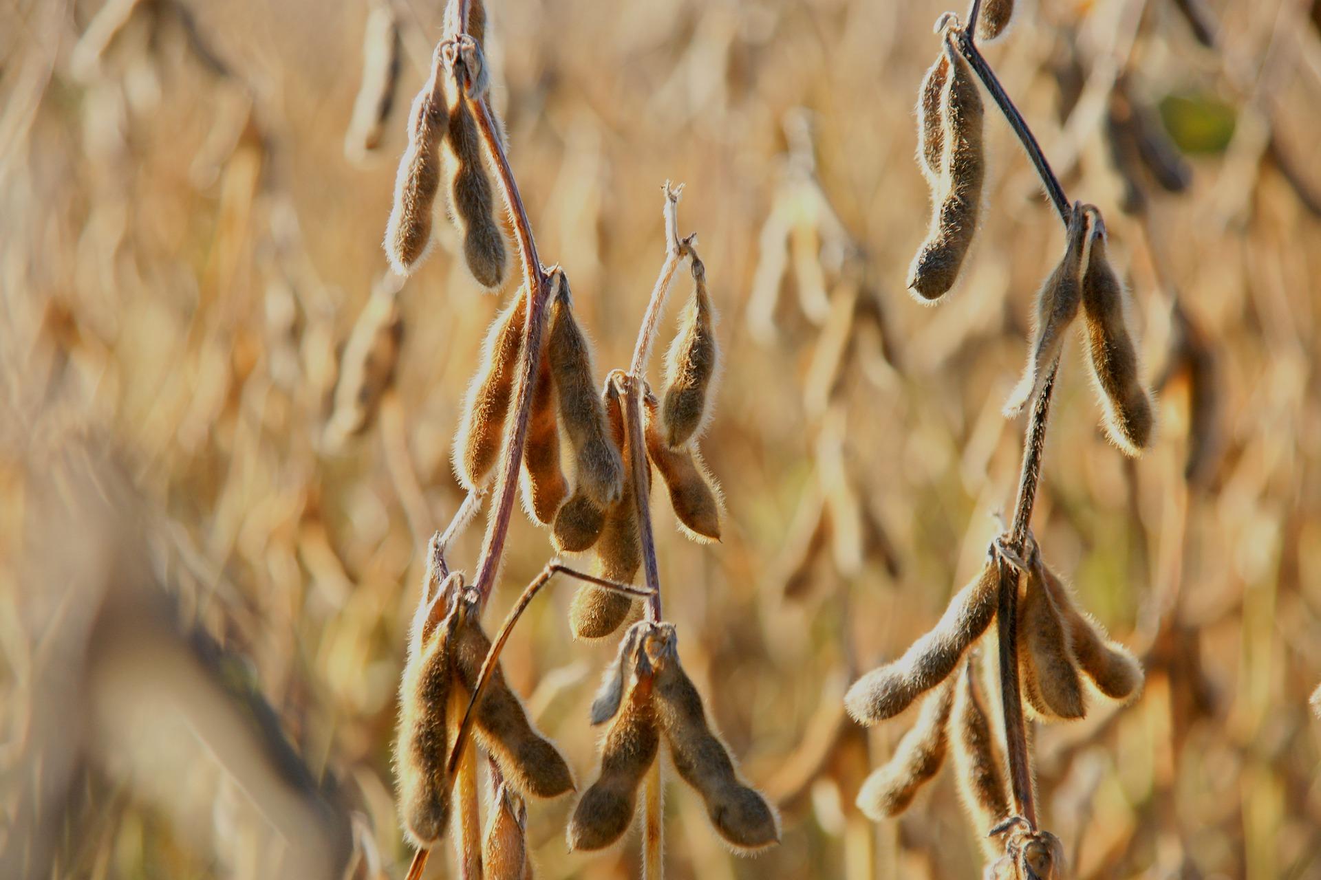 Ціни на сою продовжують зростати через зменшення врожаю