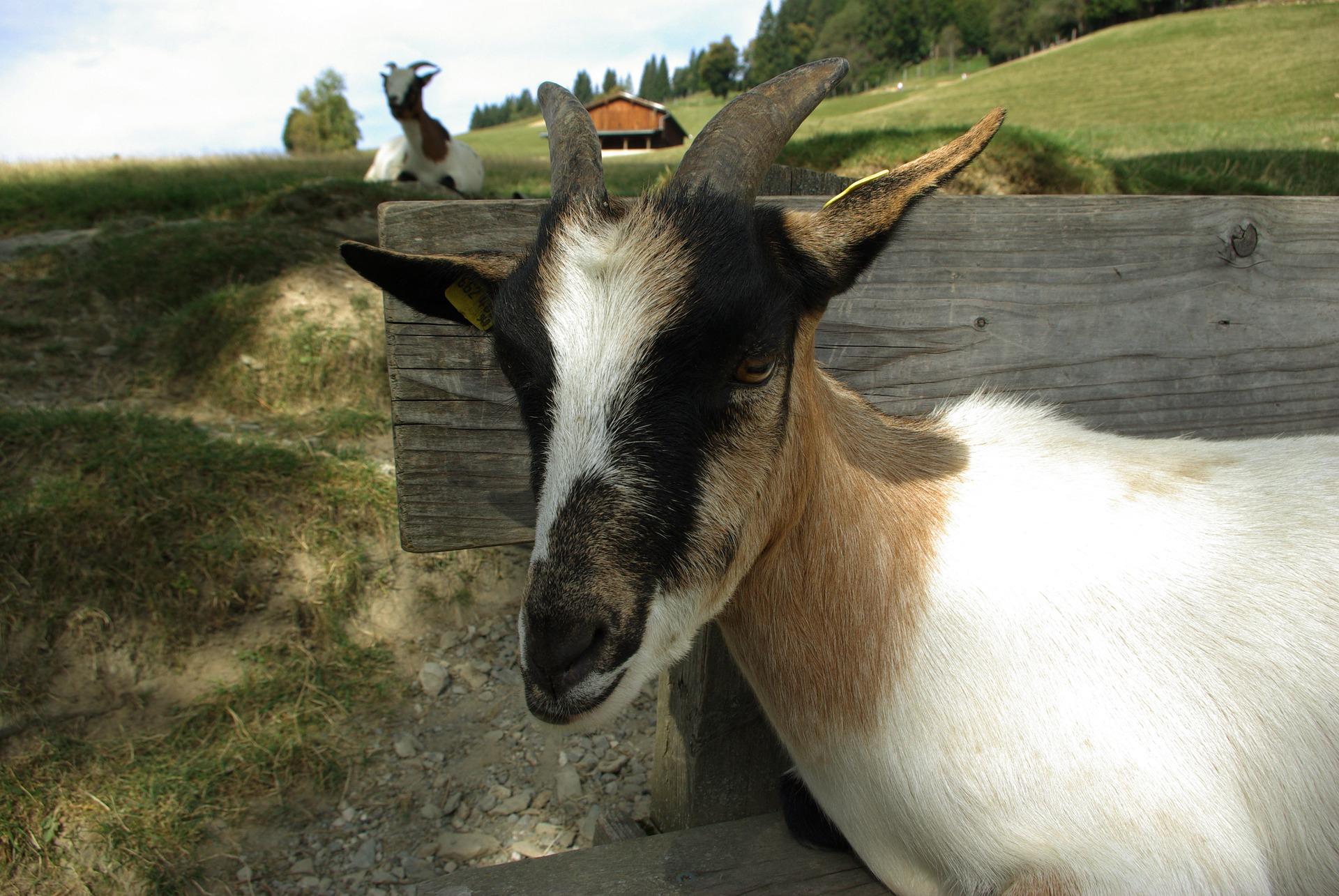 В Україні поголів'я овець і кіз зменшилося на 6,3%