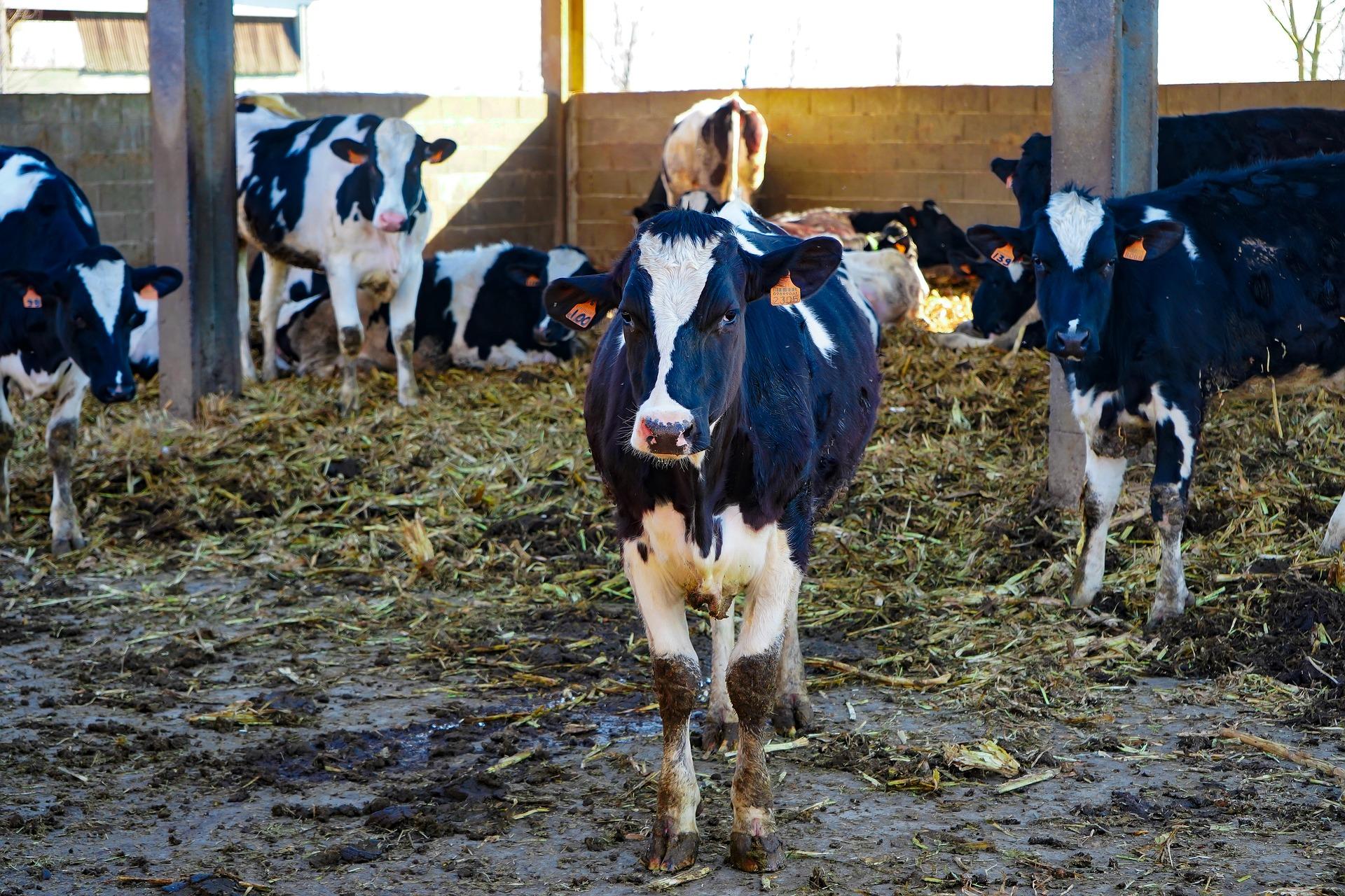 На Київщині ТОВ «Плосківське» збудує комплекс на 900 дійних корів
