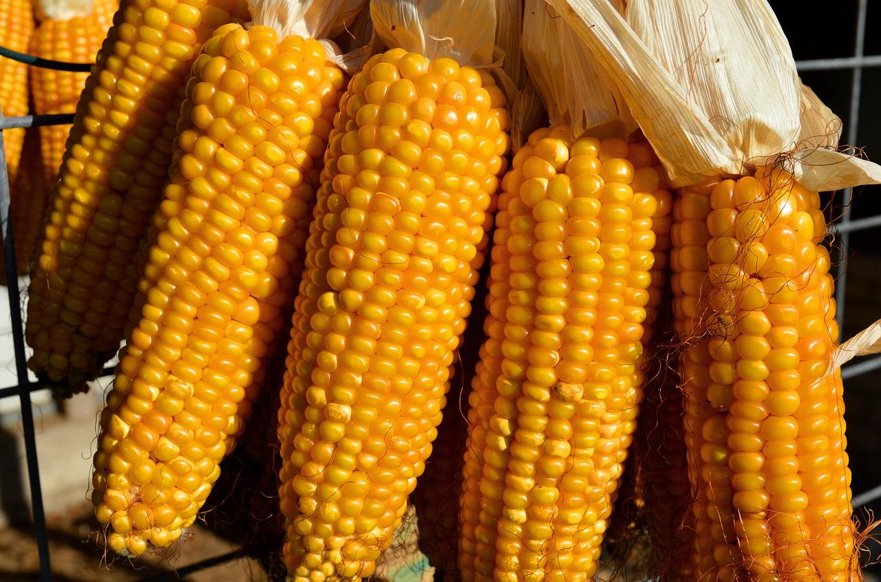 Збільшення прогнозів нового врожаю тисне на вартість кукурудзи