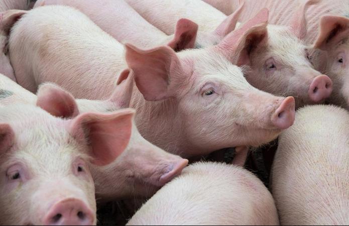 Кількість свиней у сільгосппідприємствах перетнула рекордну позначку