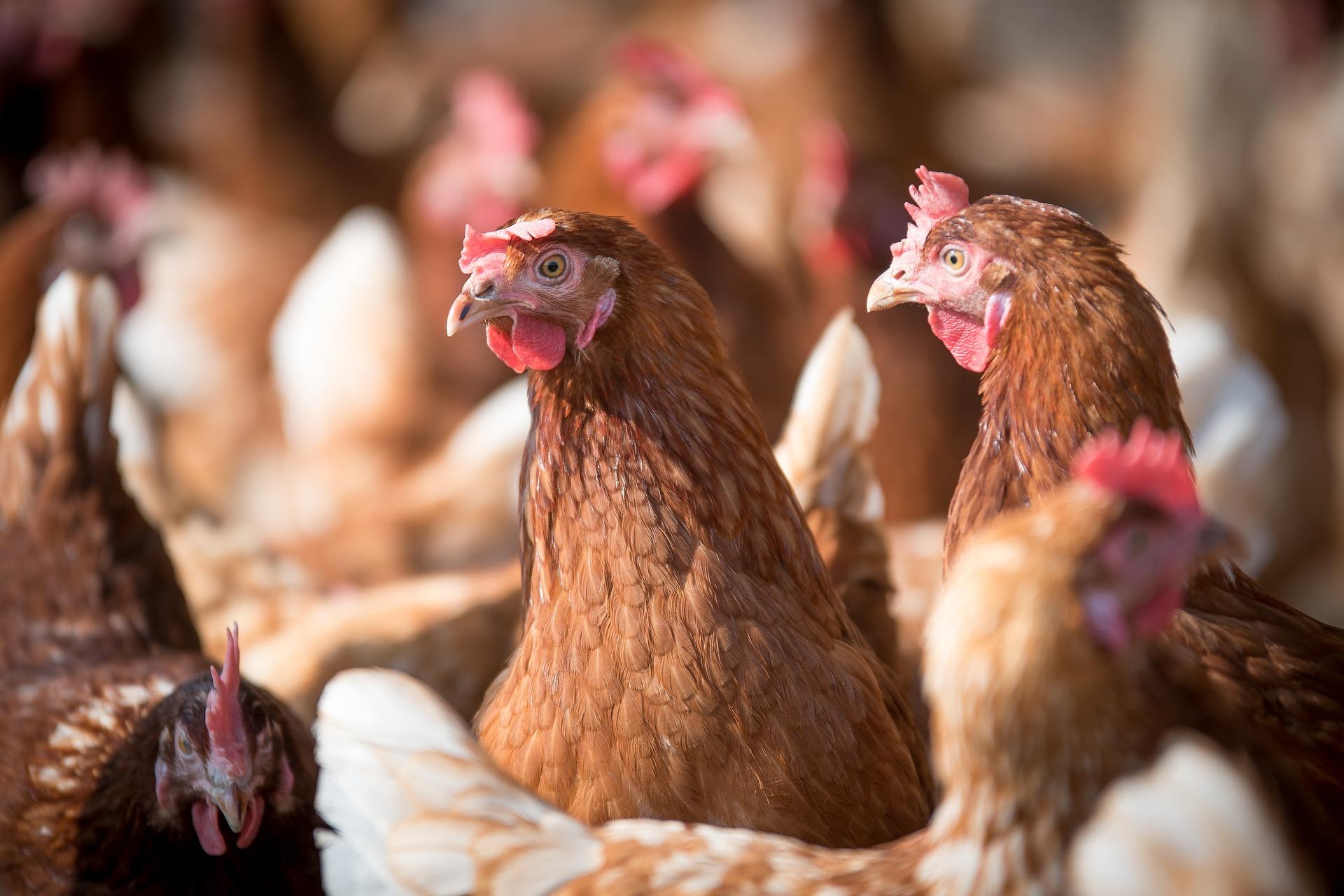 «Авангард» через 1-2 місяці змушений буде закрити 6 з 27 птахофабрик — Бахматюк