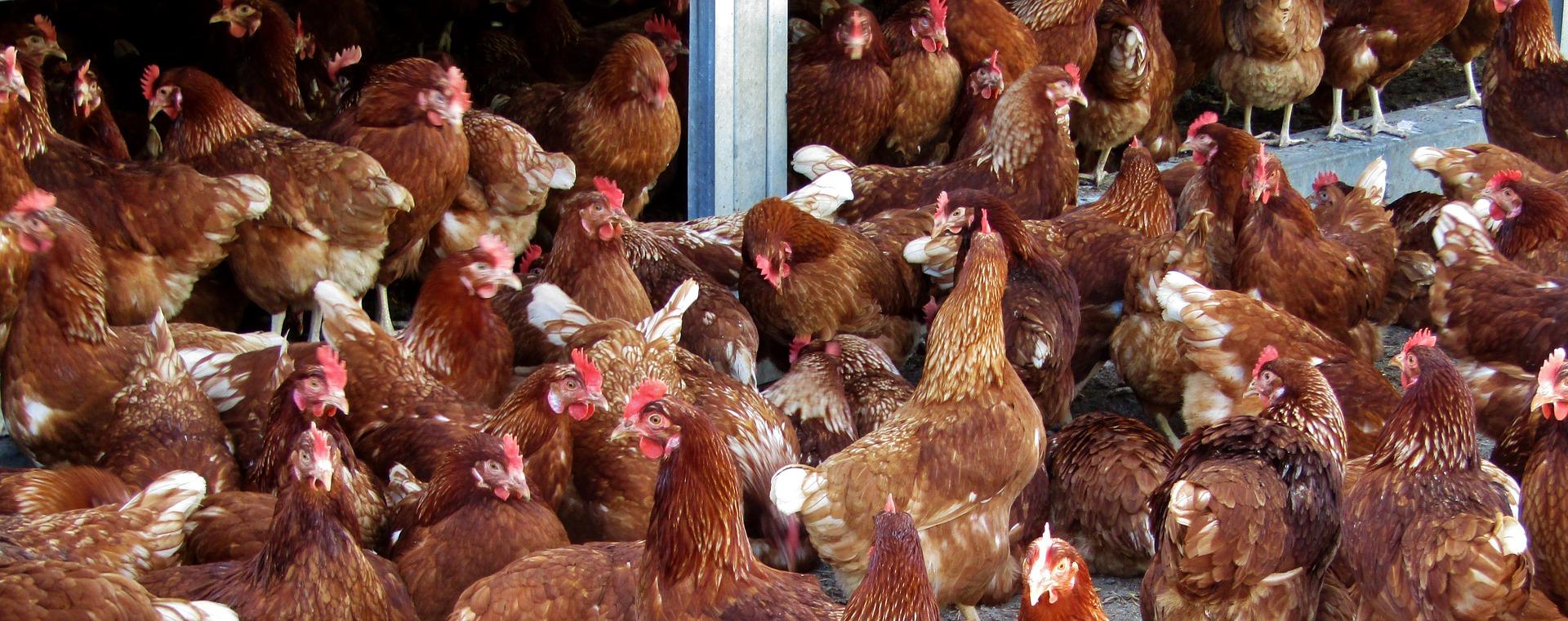 В Україні 62,3% домогосподарств утримують сільськогосподарських тварин