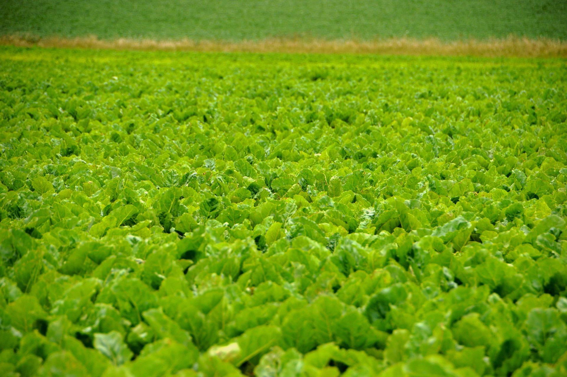 На Вінниччині аграрії засіяли 70% площ під цукрові буряки
