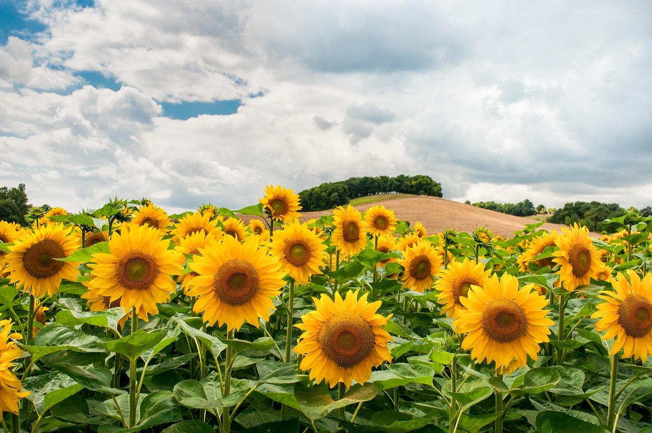 «Епіцентр Агро» завершує збирання соняшнику із середньою врожайністю 3,3 т/га