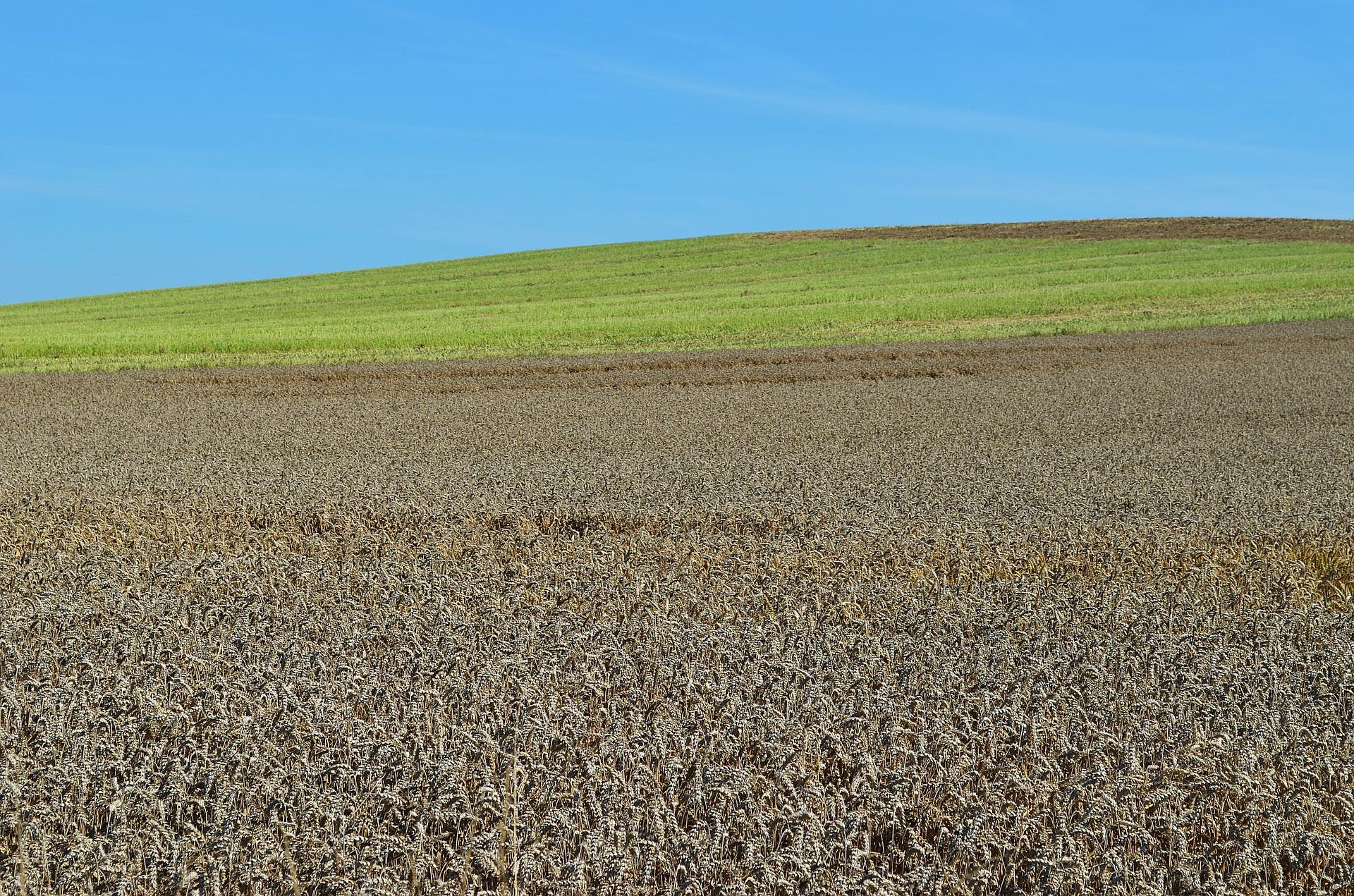Українські аграрії збільшили посівні площі озимої пшениці