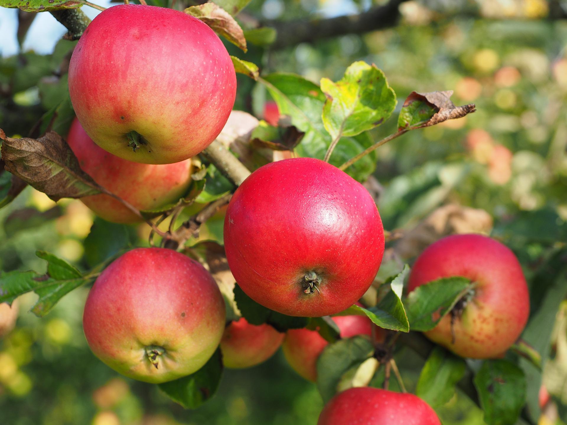 Україна різко скоротила експорт яблук, лохини та горіхів в Сінгапур