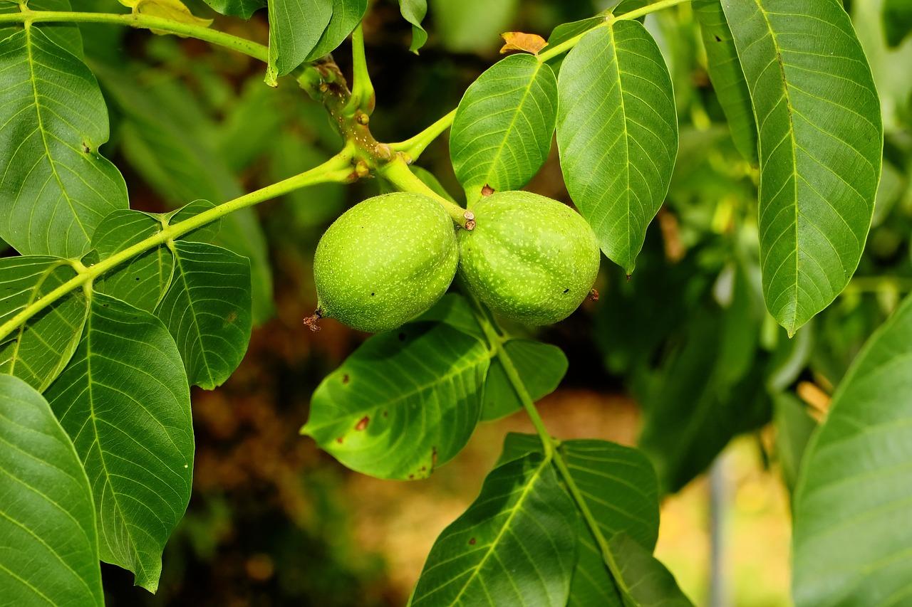 За рік в Україні з'явилося понад 1,5 тис. гектарів нових насаджень горіхів