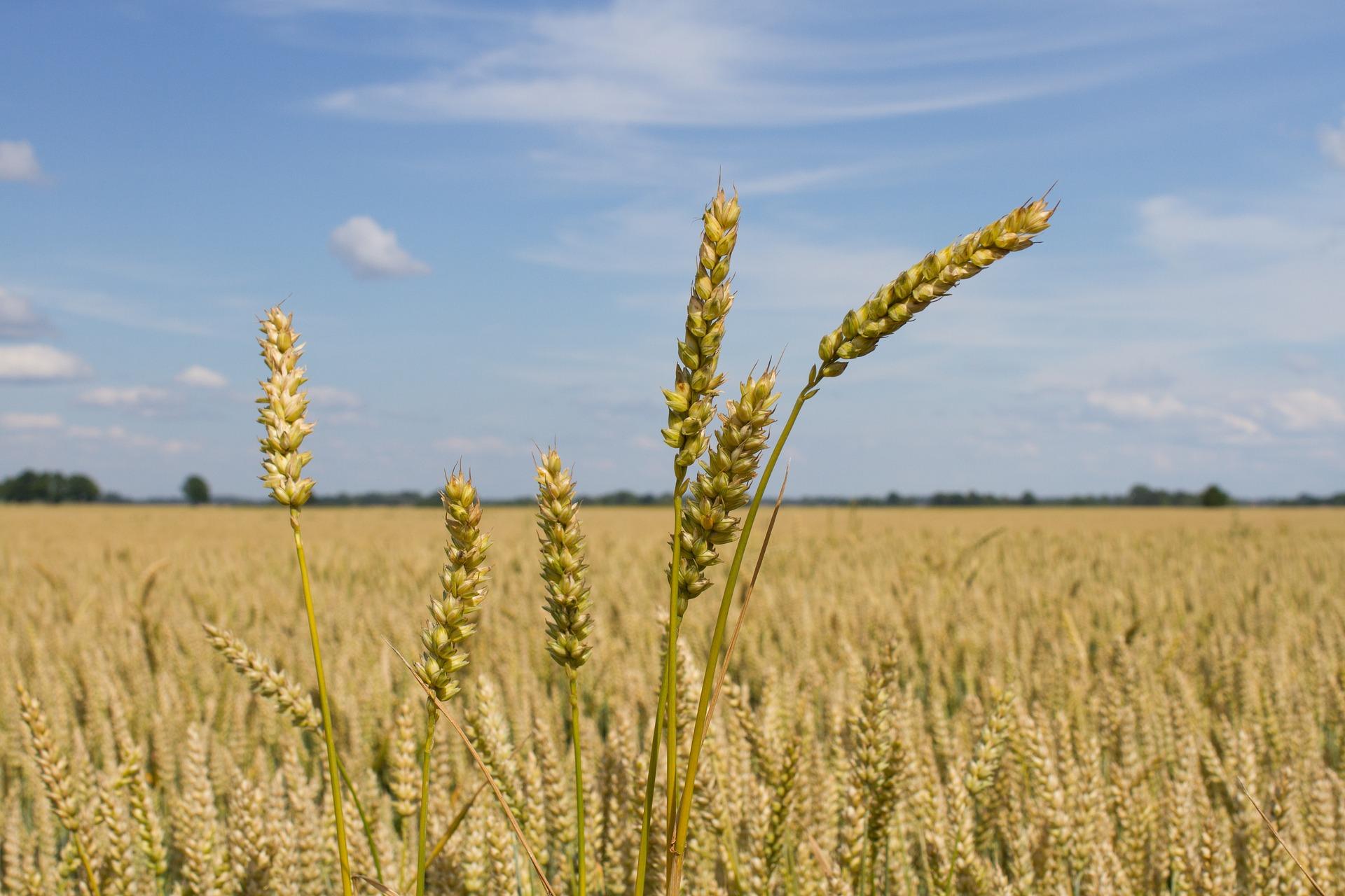 Ціни на пшеницю прискорили падіння