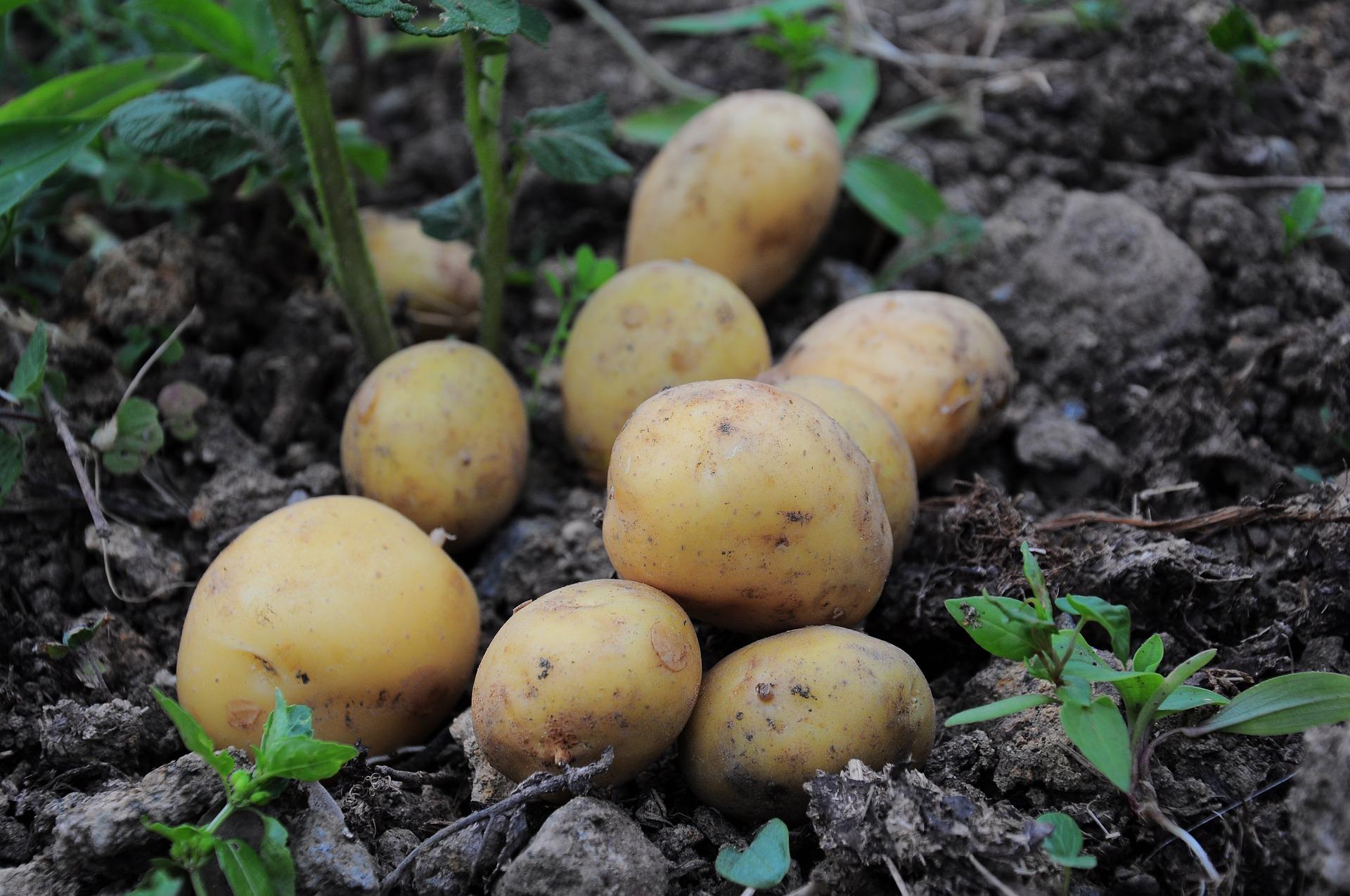 На Львівщині рейдери збирають врожай картоплі фермерів