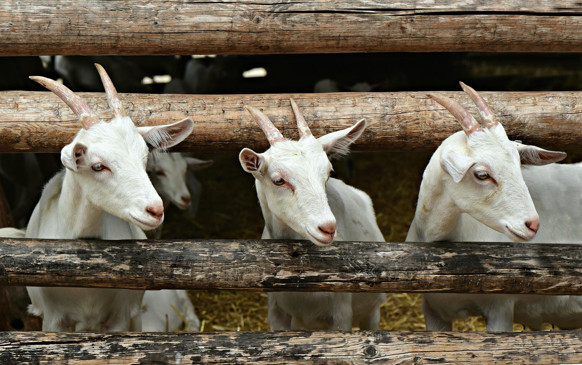 На Прикарпатті відкрили ферму з утримання кіз
