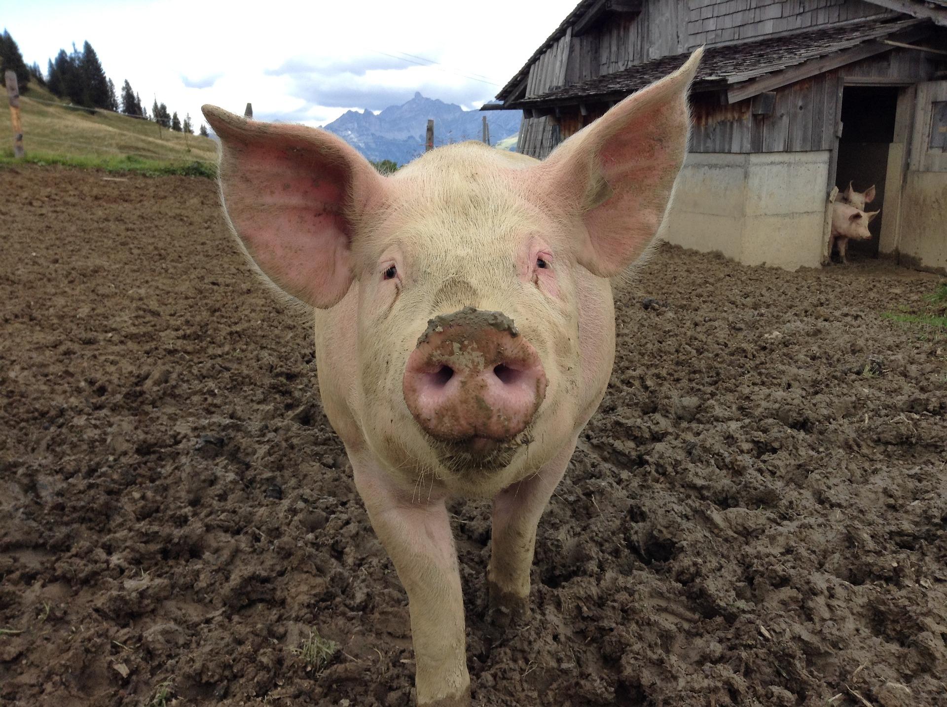 Поголів'я свиней зросло до 6 млн