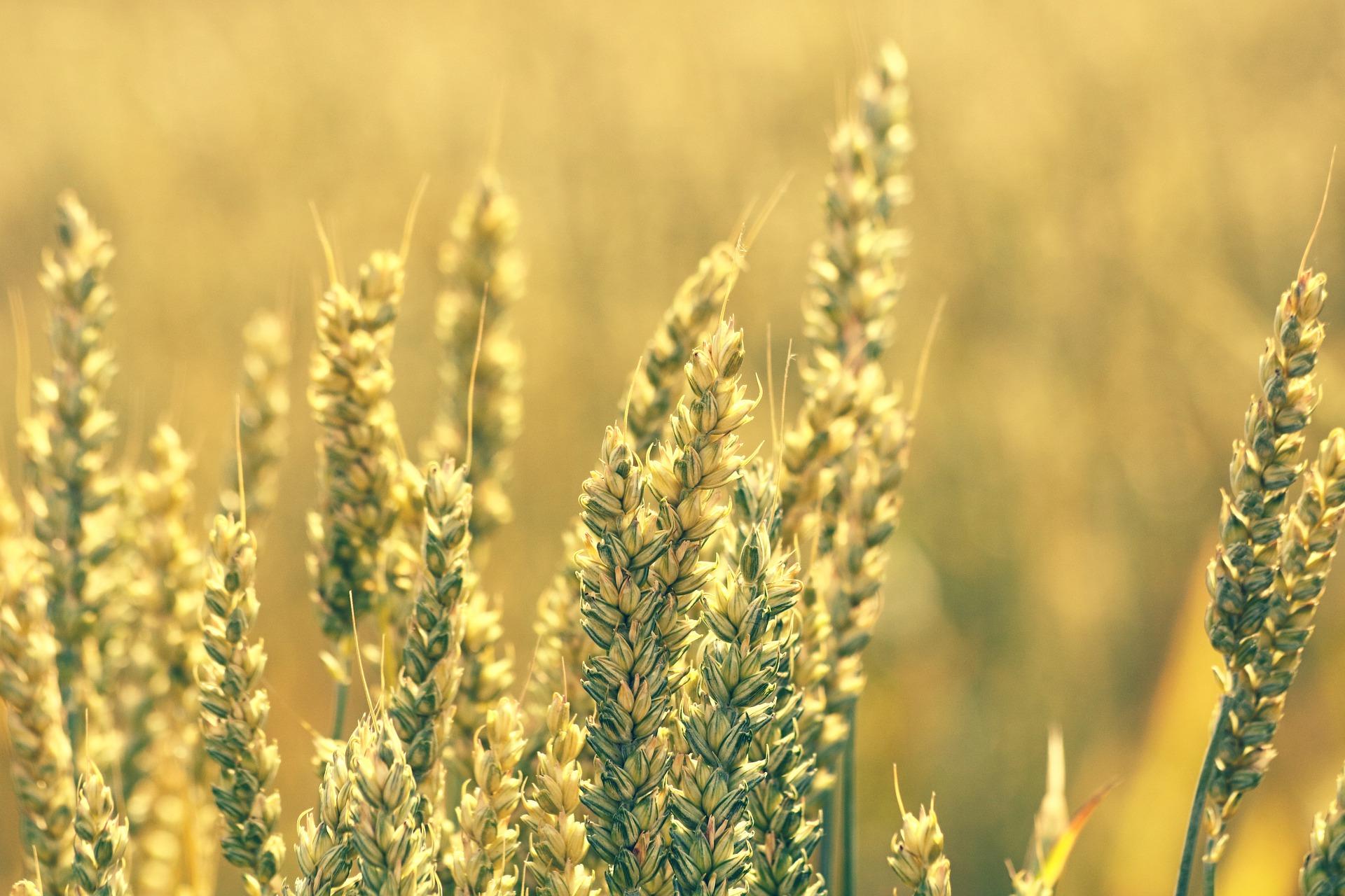 На тлі поліпшення погодних умов ціни на зернові стабілізувалися