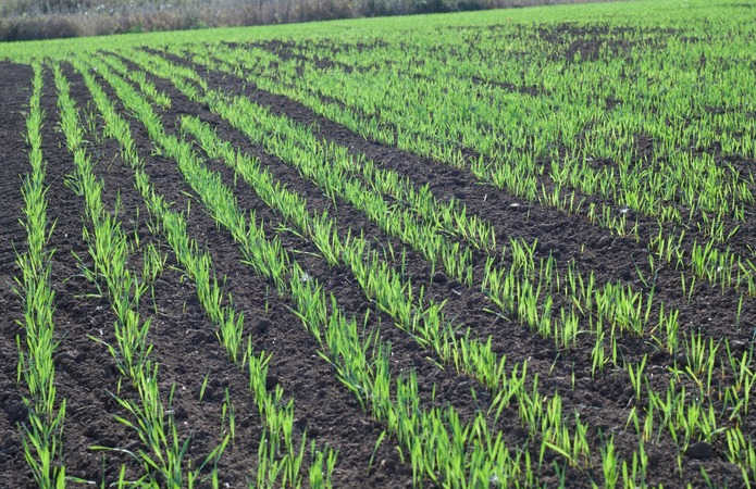 Аграріям пропонують ефективне рішення проти осінньої забур'яненості озимих