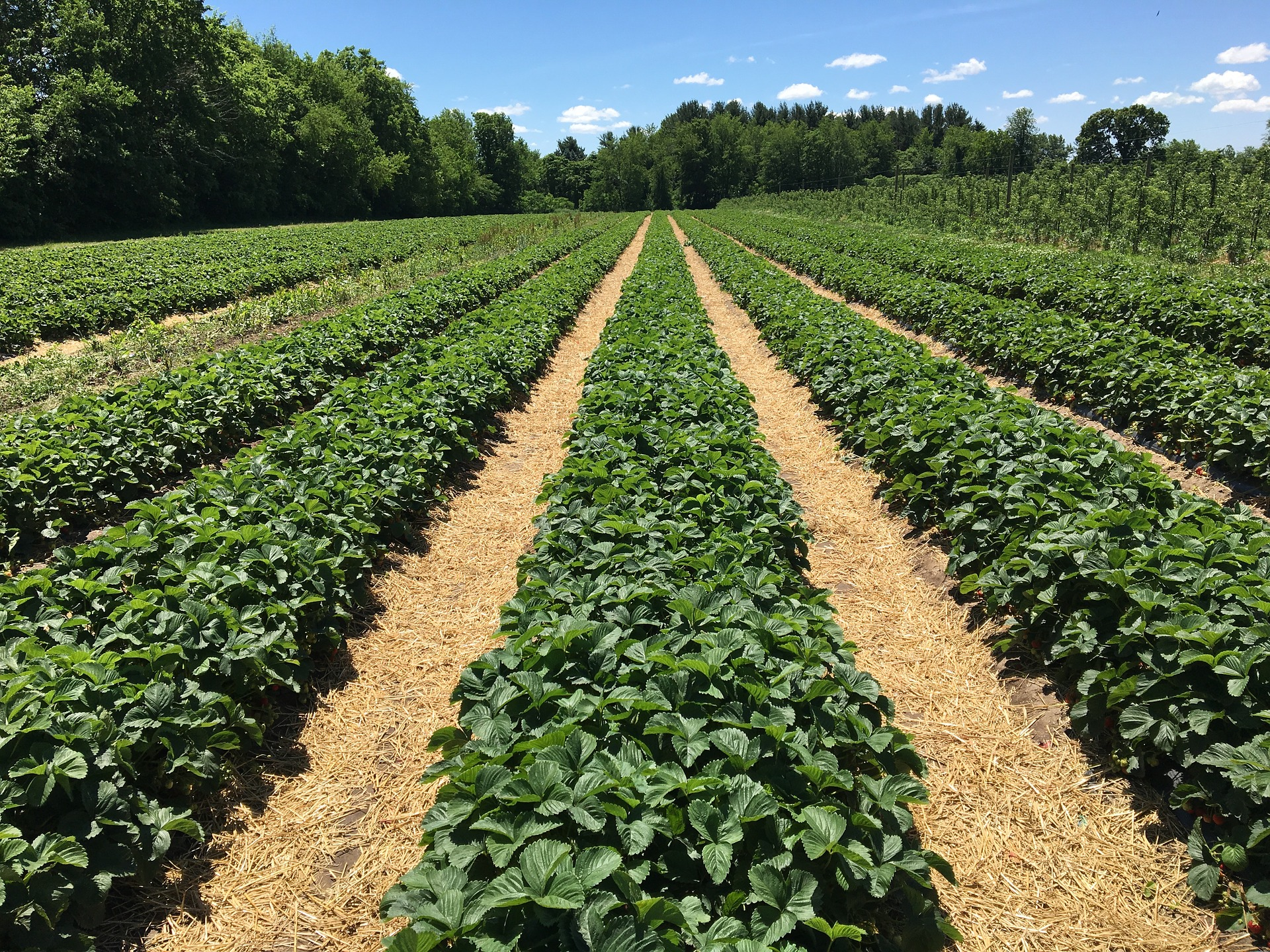 «Кусто Агро» нарощує напрямок садівництва та ягідництва