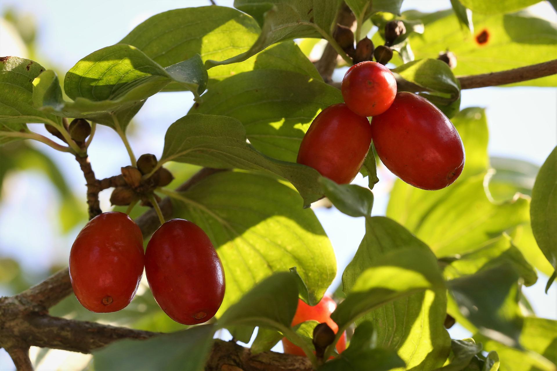 Famberry почала виробляти кизилові дропси та настоянку
