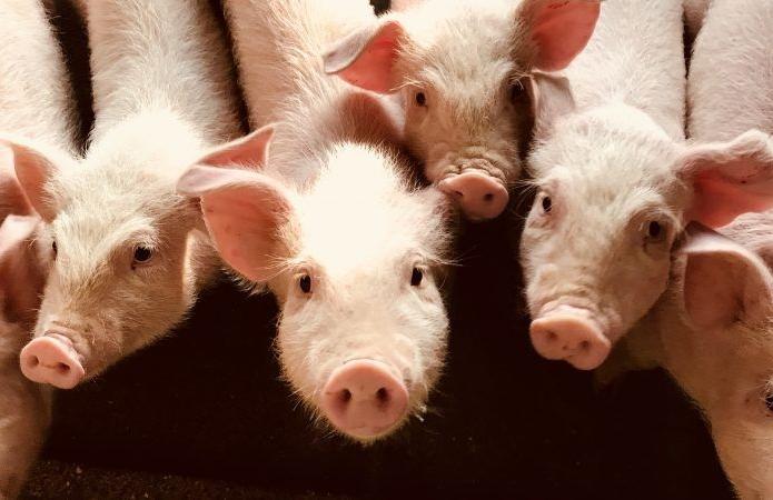 Срібний призер чемпіонату світу з футболу інвестує в розведення свиней