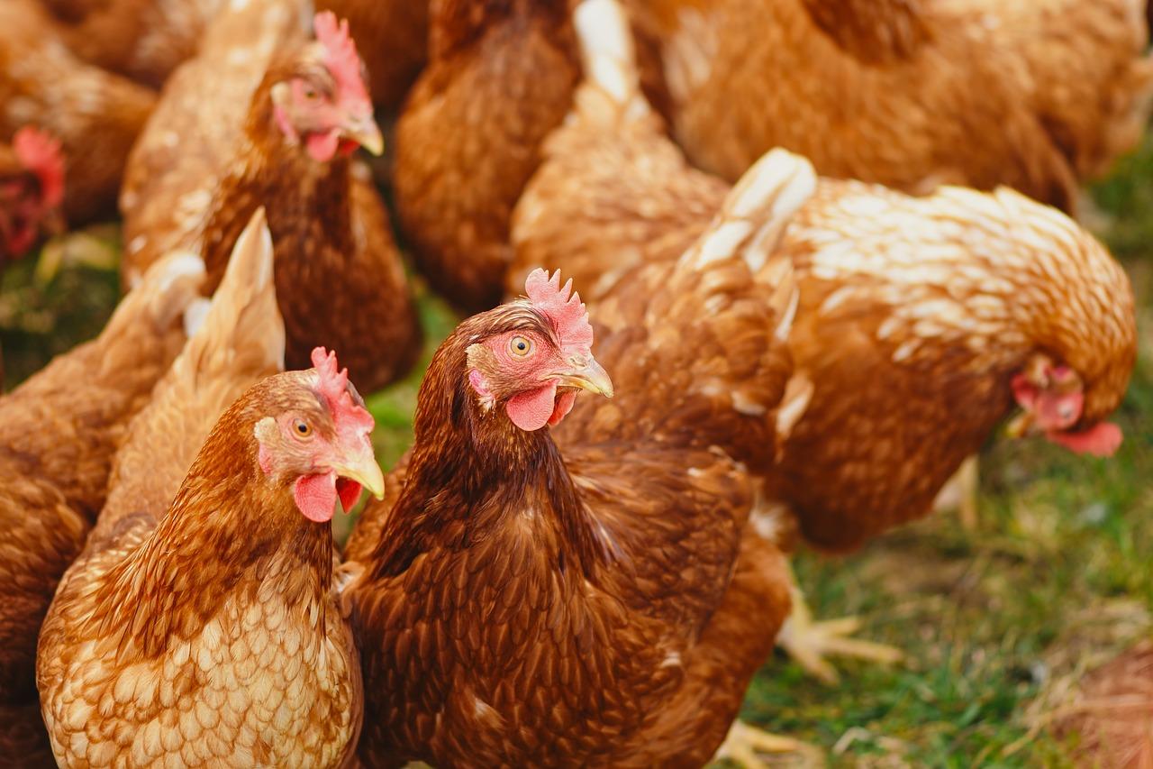 Три птахофабрики МХП підтвердили статус виробників без застосування антибіотиків