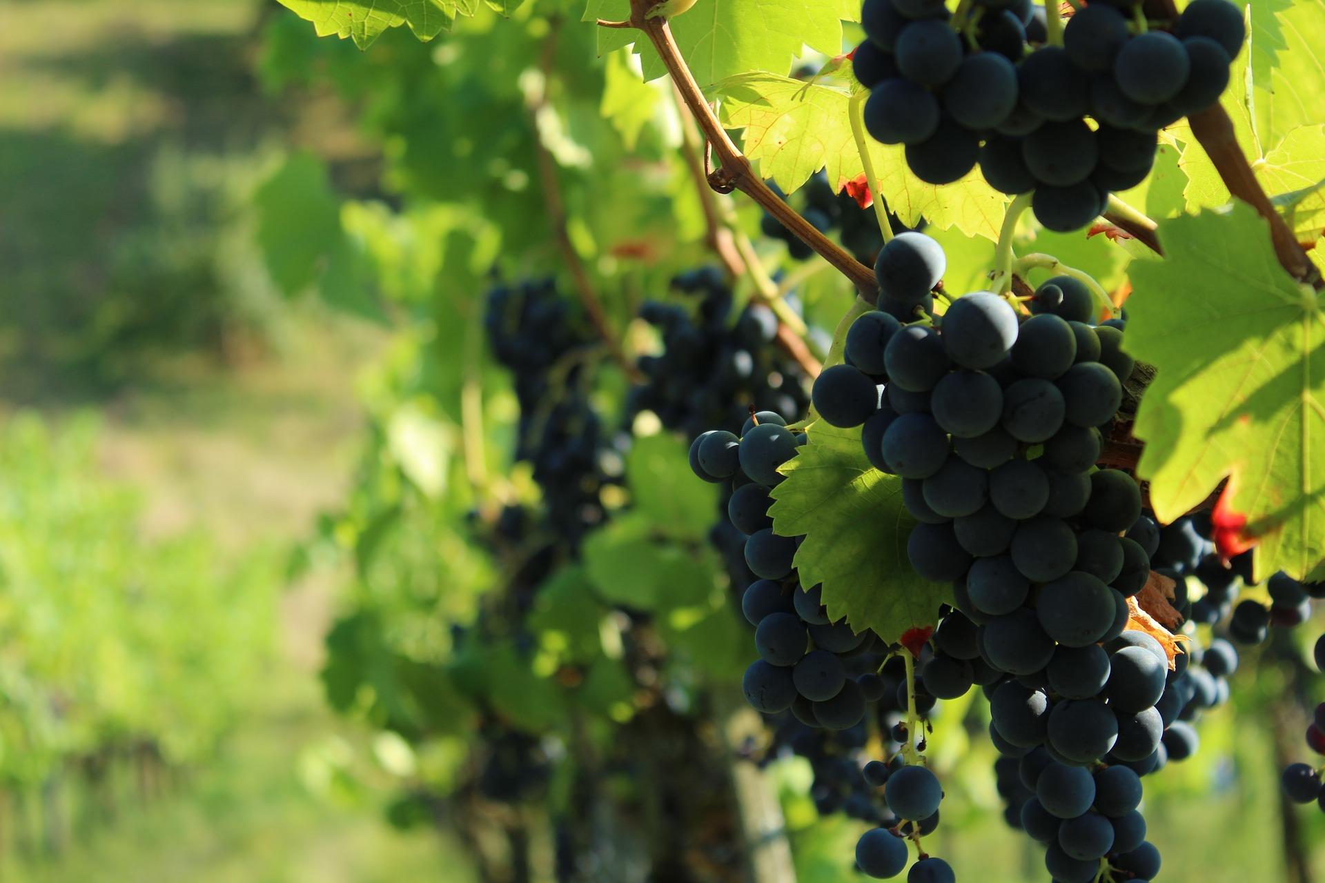 Цьогоріч на Херсонщині зібрали менший врожай винограду