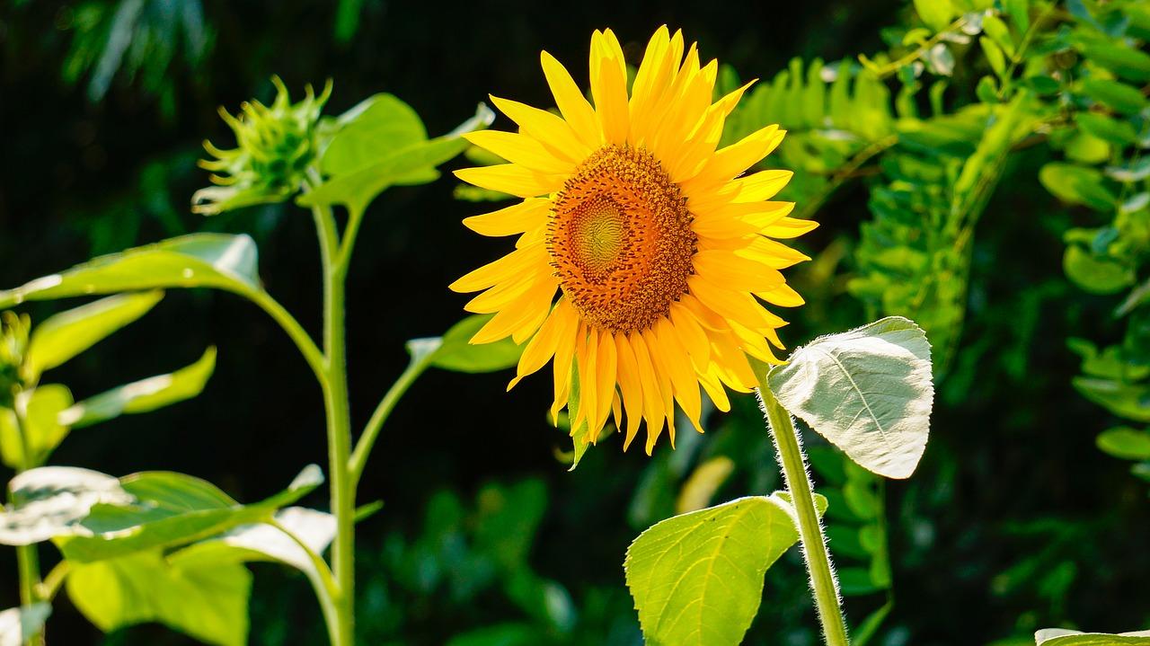 На ViOil переробили 155 тис. тонн насіння високоолеїнового соняшнику