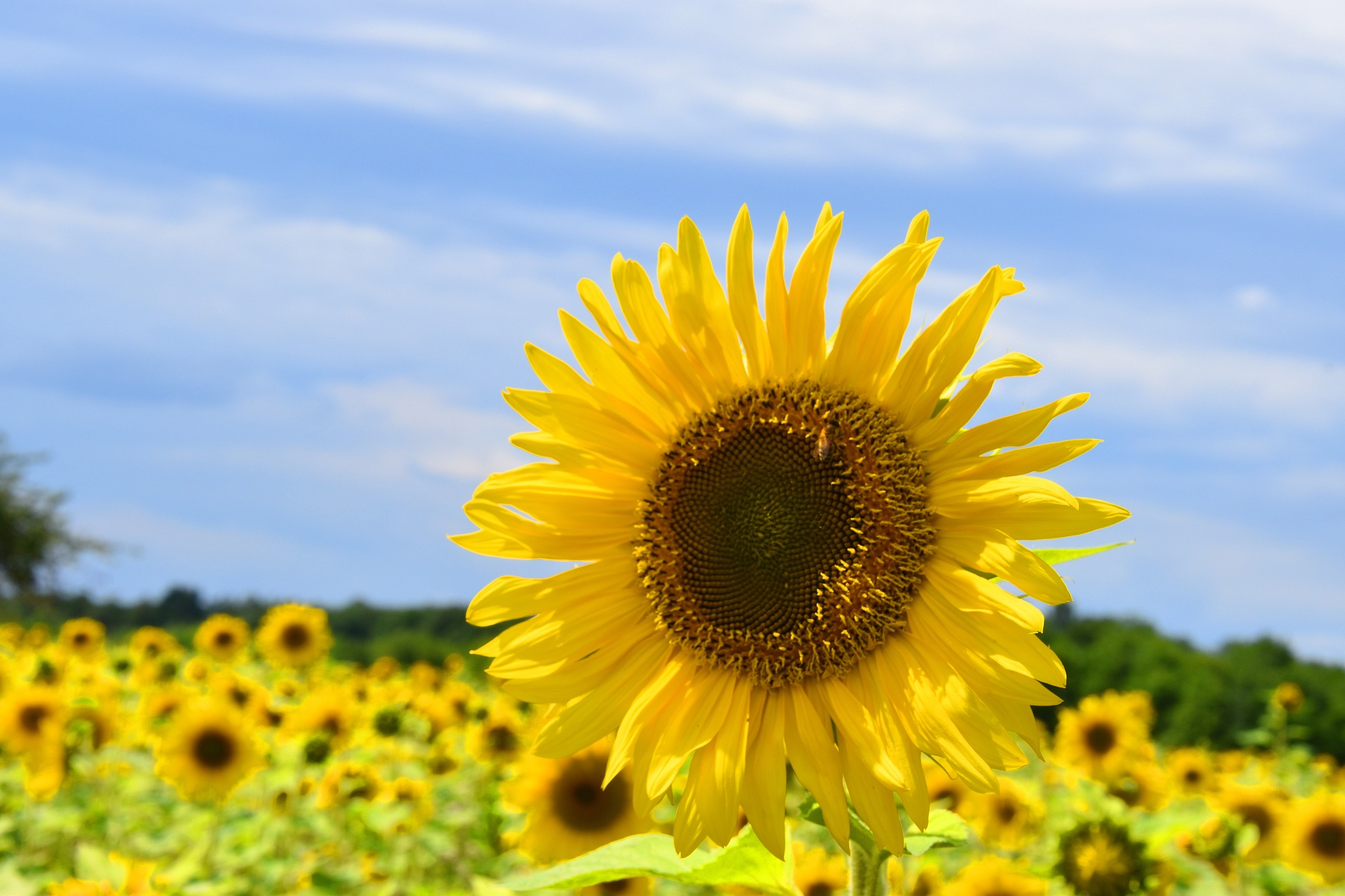 Ціни на соняшник та соняшникову олію знижуються