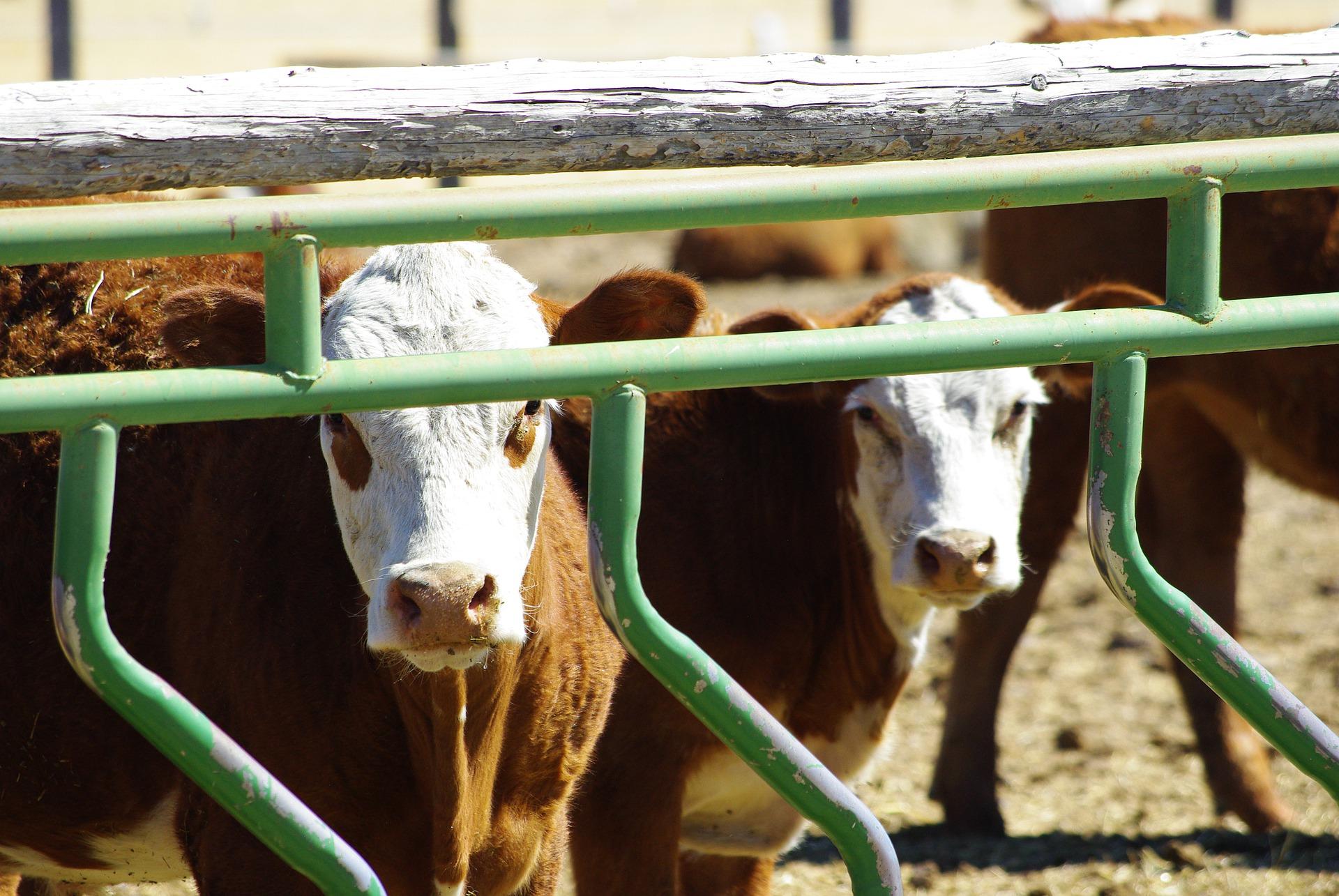 АФ «Соняшник» планує збільшити надої молока до 11 тис. літрів на корову