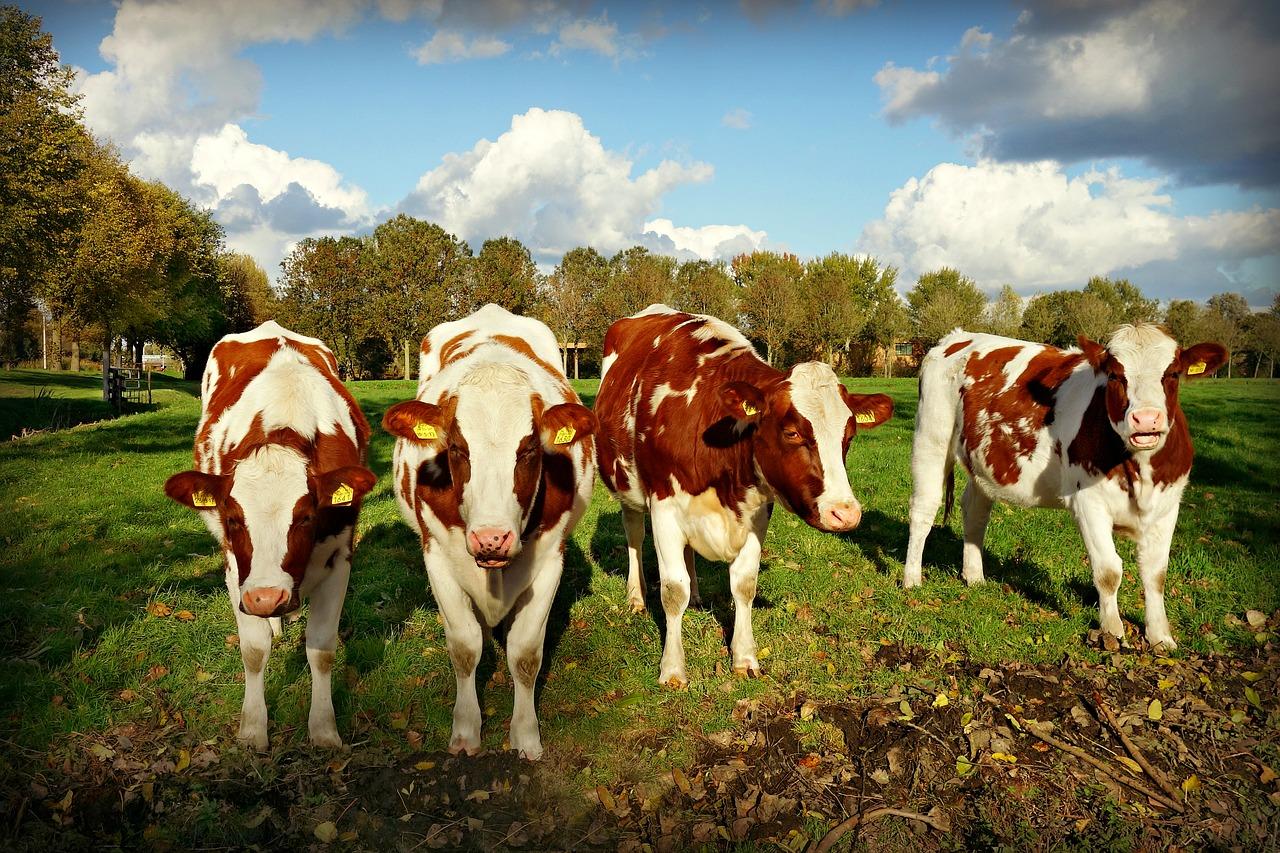 Фермери до 1 жовтня можуть оформити дотацію 5 тис. гривень на корову