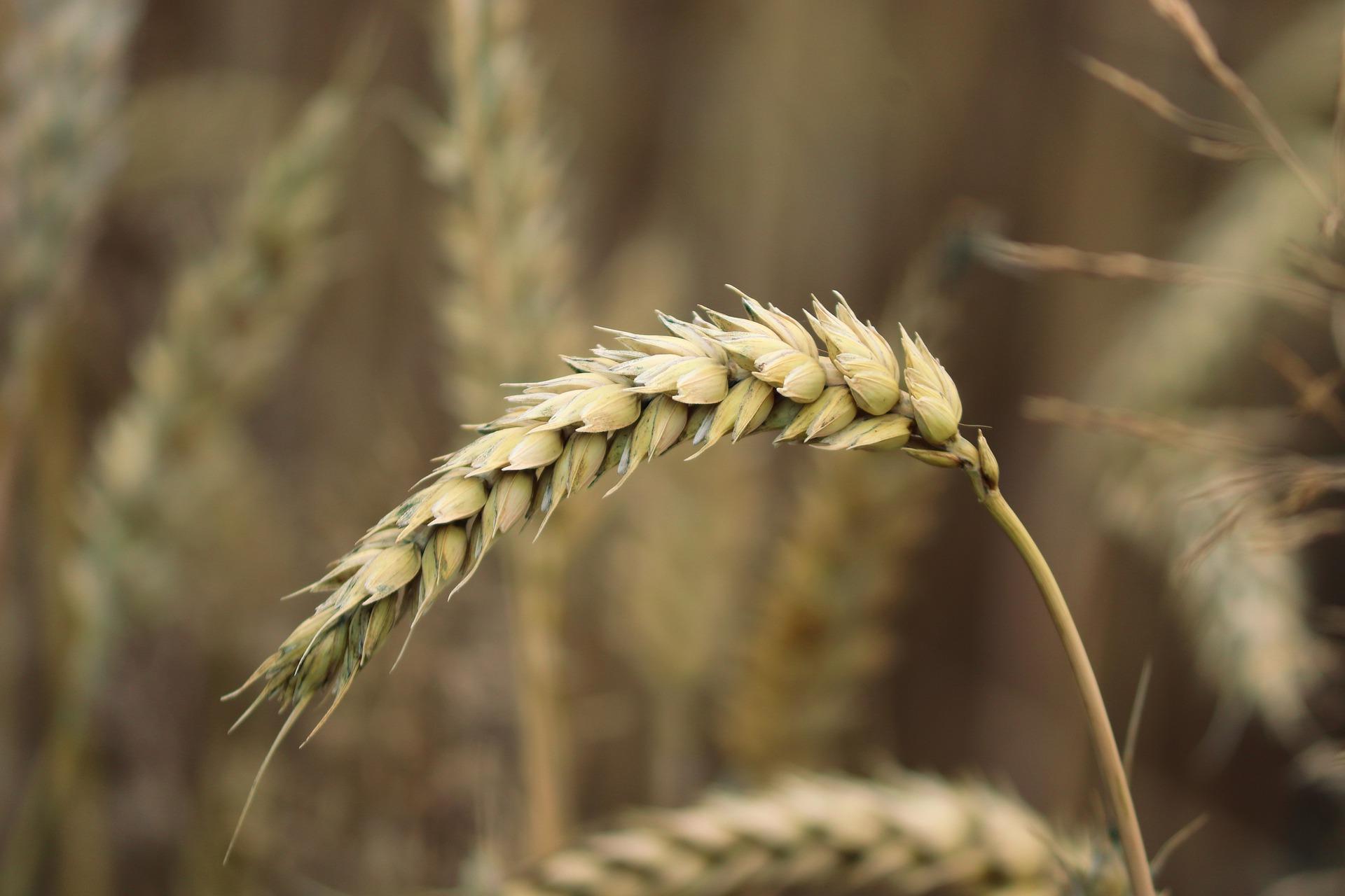Світові ціни на зерно знижуються