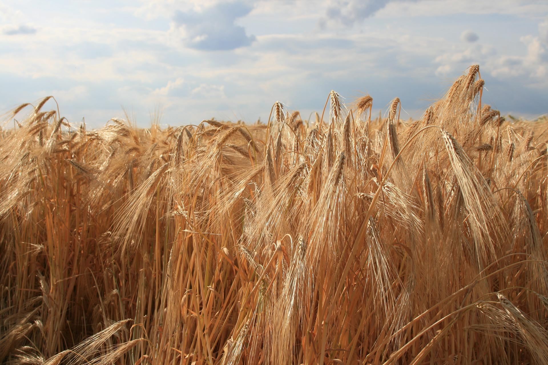 Граничні обсяги експорту жита з України збільшили до 16 тис. тонн