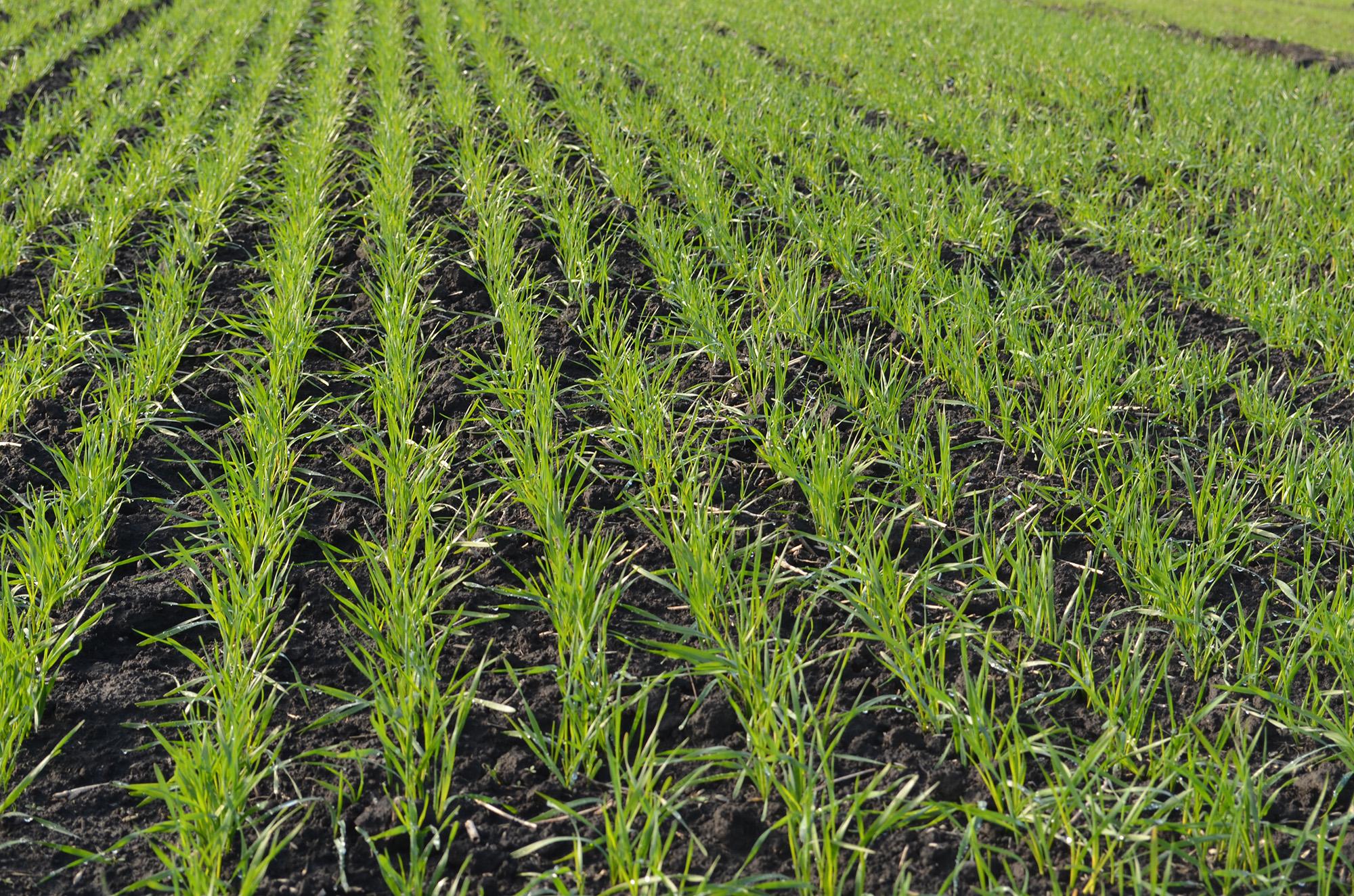 Особливості осіннього підживлення озимих зернових культур — поради експертів