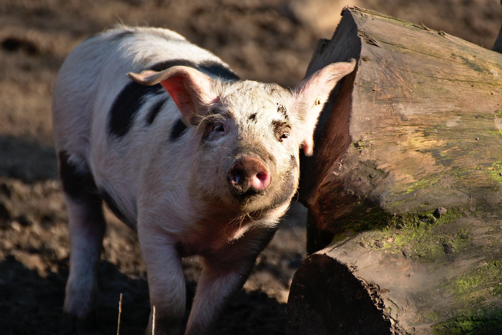 Вартість живця свиней знизилася до 44,6 грн/кг