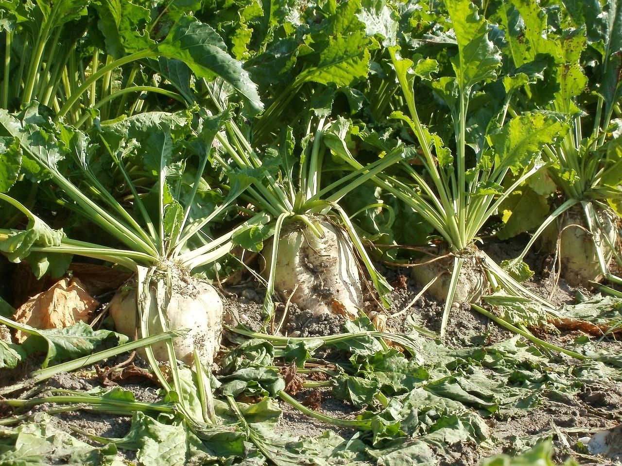 В Україні у трьох областях розпочали збирання цукрових буряків