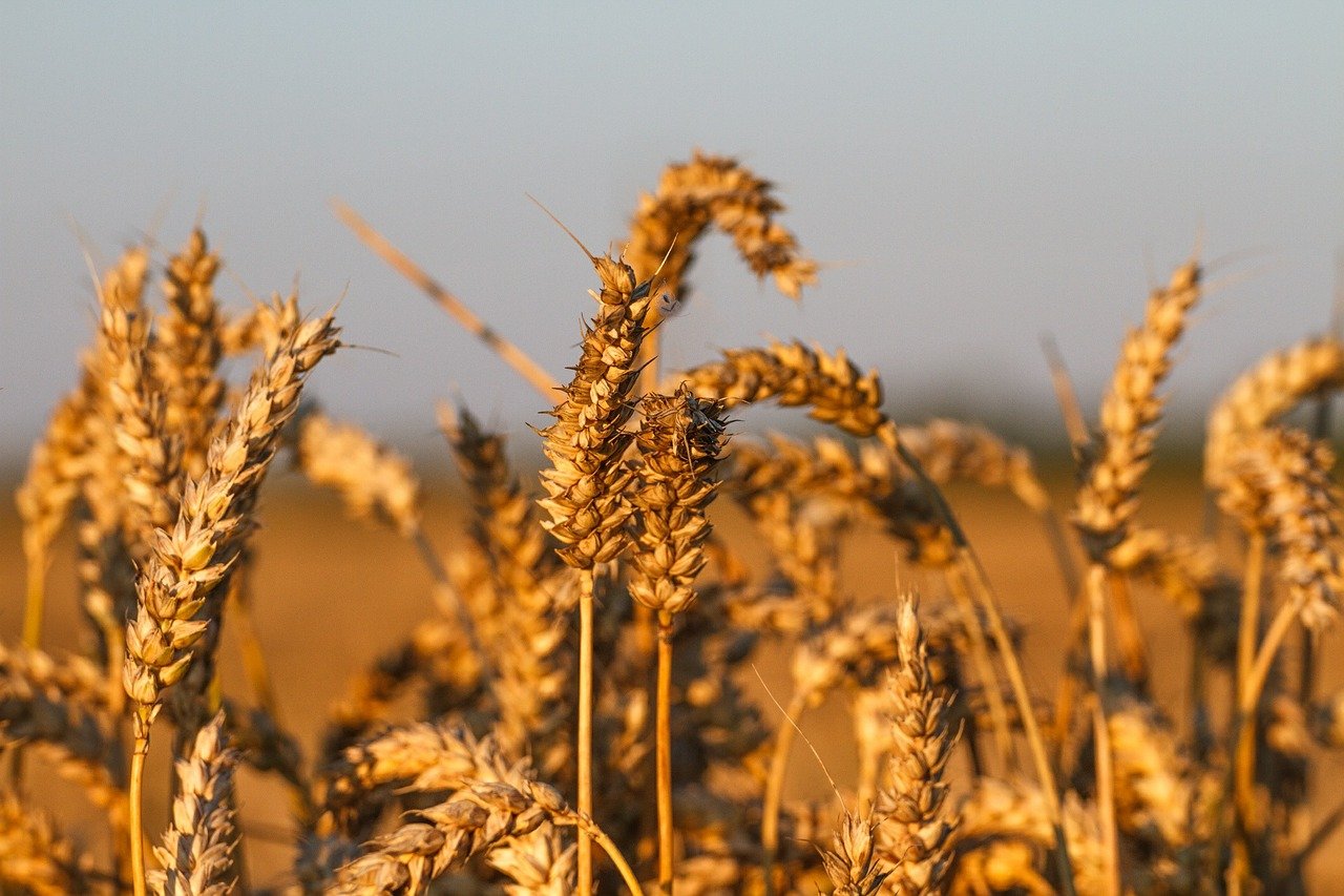 В України залишилося зібрати зернові на 3% площ