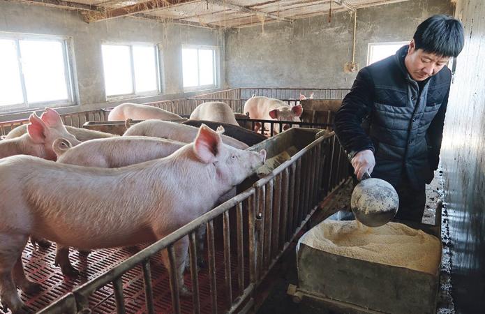 У Китаї до кінця року побудують більше 6 тисяч свиноферм